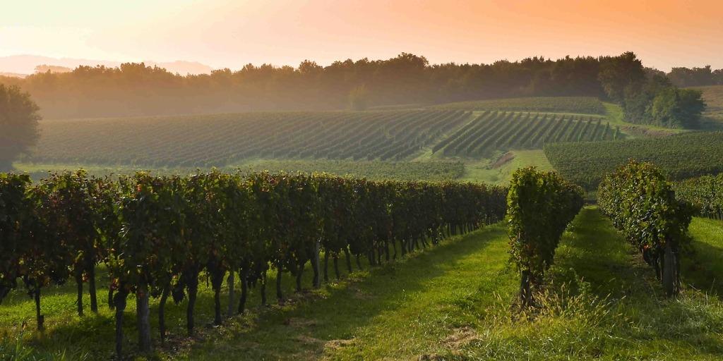 Bordeaux wijngaard